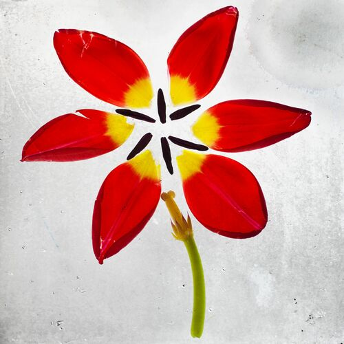 Cuddling tulips