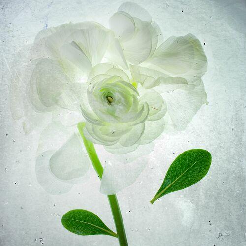 White rose x-ray - MINA TESLARU - Fotografia