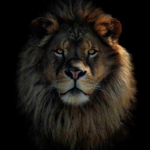 LION KING - PEDRO JARQUE KREBS - Photograph