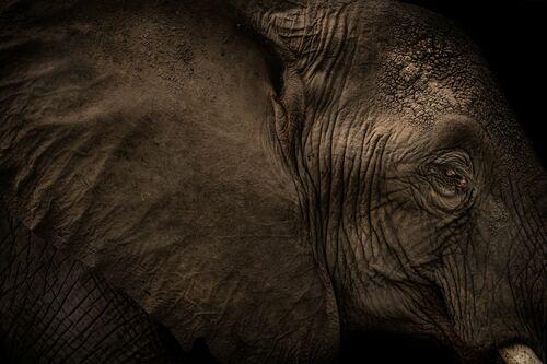 ELEPHANT EAR - RODNEY BURSIEL - Photograph