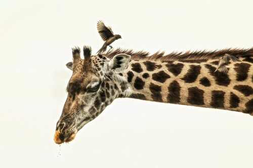 GIRAFFE AND OXPECKER - RODNEY BURSIEL - Fotografia