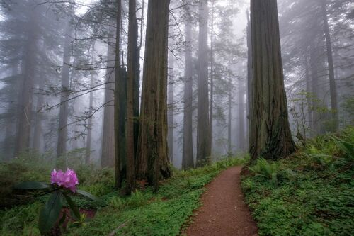 REDWOODS AND RHODIES - SAPNA REDDY - Photograph