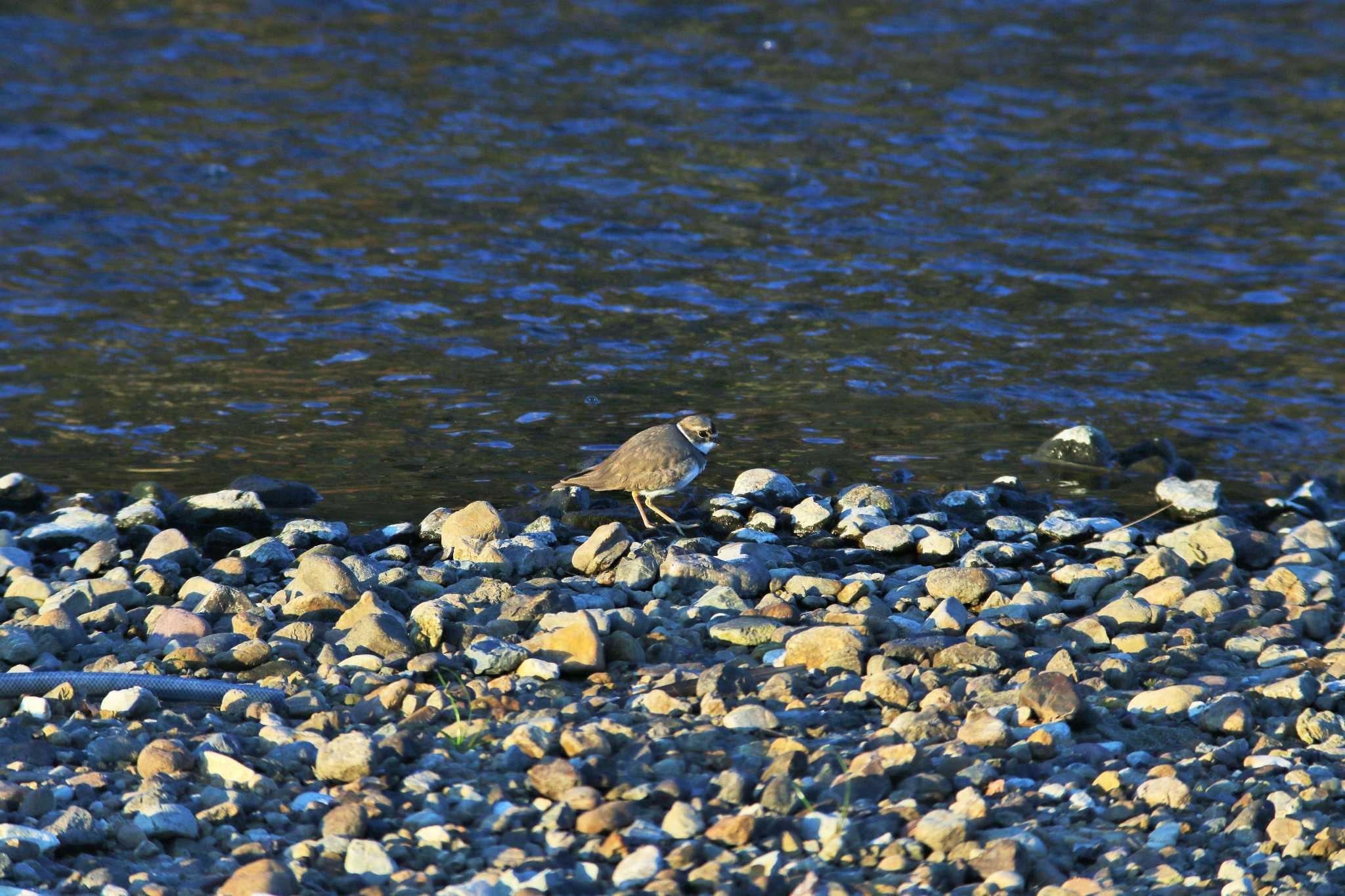 天白川 コチドリの画像