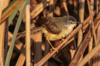 アオハウチワドリの写真