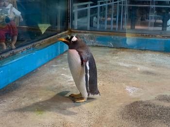 ジェンツーペンギンの写真