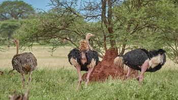 ostrich(males and female)