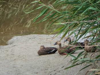 汐川干潟 カルガモの画像