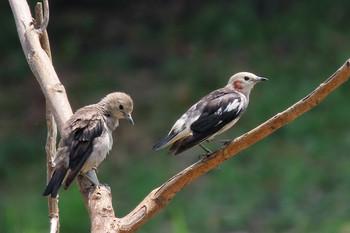 葛西臨海公園 コムクドリの画像
