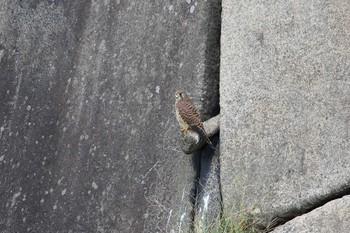 大阪城公園 チョウゲンボウの画像