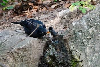 ニース城跡公園 ニシクロウタドリの画像
