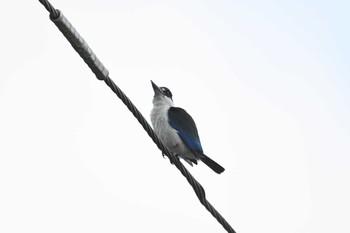 ケアンズ Torresian Kingfisherの画像